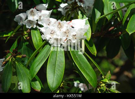 White Azalea  flowers in the garden. Rhododendron hybr Roza stevenson - Stock Photo
