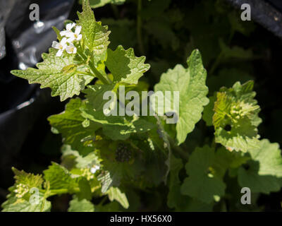 Invasive garlic mustard plants in a black plastic bag ready for disposal. - Stock Photo