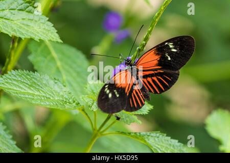 Doris Longwing Butterfly in Cecil B Day Butterfly Center at Callaway Gardens. - Stock Photo