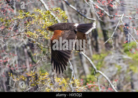 Harris Hawk in Callaway Garden's Birds of Prey rehabilitation and education program. - Stock Photo