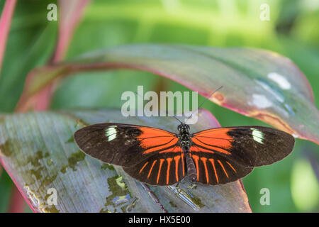 Postman Longwing Butterfly in Cecil B Day Butterfly Center in Callaway Gardens, Georgia. - Stock Photo