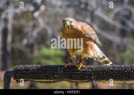 Red-shouldered Hawk in Callaway Garden's Birds of Prey rehabilitation and education program. - Stock Photo
