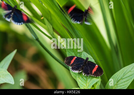 The Postman Longwing Butterfly in Cecil B Day Butterfly Center at Callaway Gardens. - Stock Photo