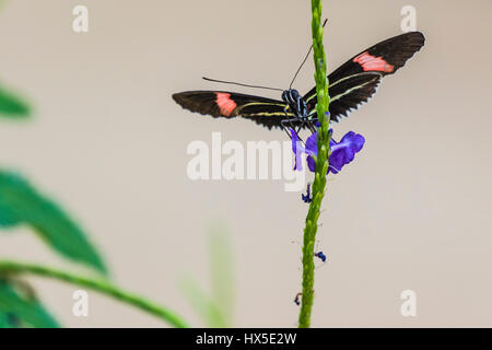 The Postman Longwing Butterfly on Porterweed flower in Cecil B Day Butterfly Center at Callaway Gardens. - Stock Photo
