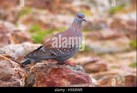 African rock pigeon, speckled pigeon, South Africa - Stock Photo