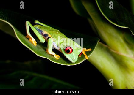 Red eyed tree frog on banana leaf - Stock Photo