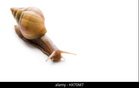 Big snail Achatina - Stock Photo