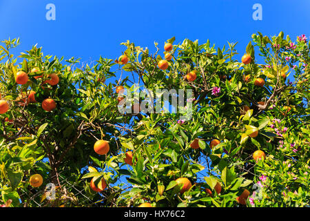 Ripe oranges on tree against deep blue sky in the Mediterranean - Stock Photo