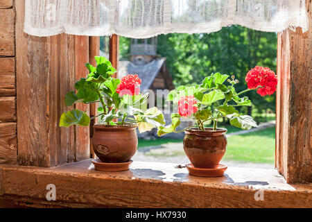 Geranium red flowers on the window of old rural wooden house in sunny day - Stock Photo