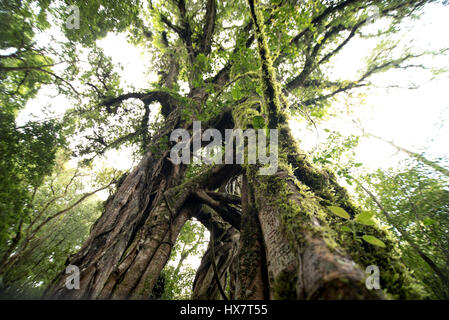 ancient and giant tree in Kebun Raya park Bali - Stock Photo