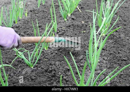 Gardener raking onion plantation - seasonal work in the vegetable garden - Stock Photo