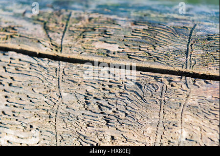 the pattern on the wood from beetle bark beetle - Stock Photo