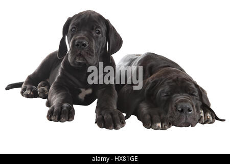 Two black puppy German Mastiff, one peppy  another tired and asleep, isolated on white background. - Stock Photo