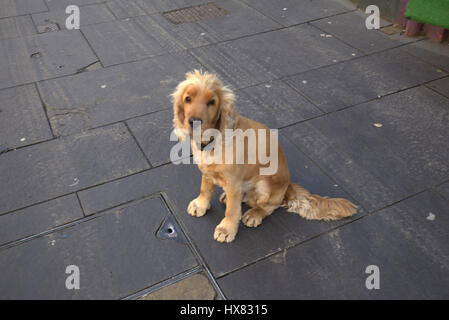sad cute adorable spaniel puppy on pavement lost dog look - Stock Photo