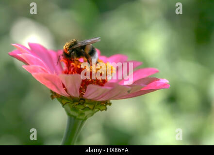 Bumble bee is sitting on a pink flower. - Stock Photo