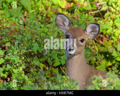 Attentive white-tailed deer fawn in woods - Stock Photo