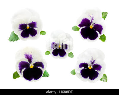 Five delicate white and violet pansy flowers isolated on white - Stock Photo