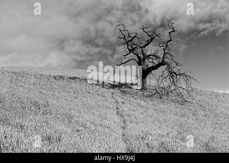 Black and white rendering of Valley Oak tree on top of a grass hill pasture in Vacaville, California, USA.  In Central Valley's chaparral, the origina