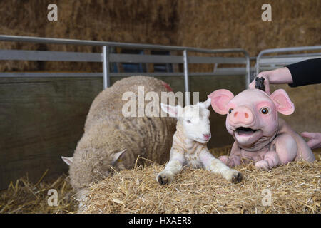 Babe the sheep pig puppet meets real live lambs and piglets down on the farm, press shoot for Wyvern Theatre where - Stock Photo