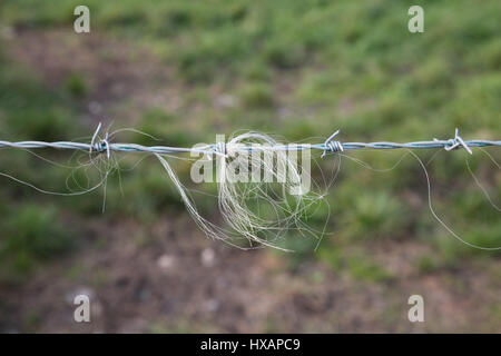 A Barbed Wire fence makes a good Back Scratcher for cattle and sheep ...