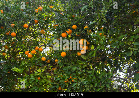 orange trees plantations. Ripe and fresh oranges hanging on branch. - Stock Photo