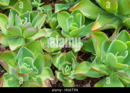 Closeup to Rose Shaped Echeveria Agavoides/ Pulidonis, Succulent and Arid Plant Stock Photo