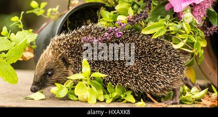 NATIVE BRITISH WILD HEDGEHOG IN HERB GARDEN - Stock Photo