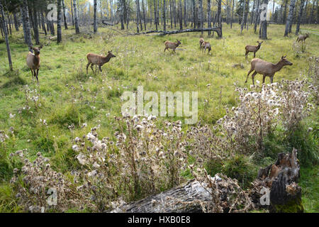 Elk cows, part of a small herd, grazing in a clearing on the edge of the woods near the town of Timmins, Northern - Stock Photo