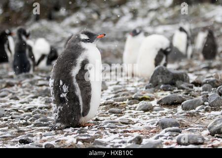 Penguin chick, chicks. Gentoo penguins Antarctica. - Stock Photo