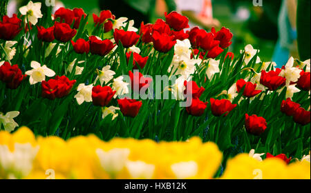 Tulips and Daffidols bloom during the Tulip Festival in Skagit County, Washington - Stock Photo