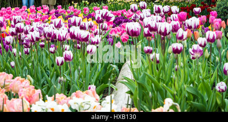 A bed of tulips at the Skagit Valley Tulip festival in Washington - Stock Photo