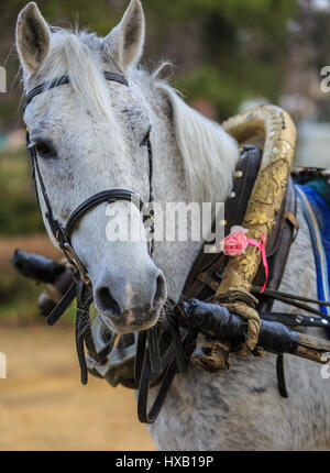 Portrait of the gray horse in old harness - Stock Photo