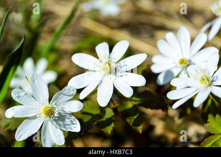 Blooming Rue Anemone close up. Wild spring white flowers. - Stock Photo