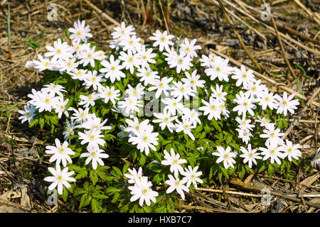 Group of blooming Rue Anemone flowers. Wild spring white flowers. - Stock Photo