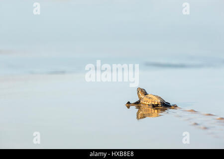 Baby loggerhead turtle (Caretta caretta) making its journey to the sea.   Mon Repos Conservation Park, Bundaberg, - Stock Photo