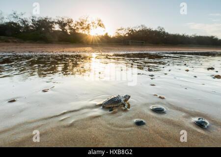 Baby loggerhead turtle (Caretta caretta) making its journey to the sea at sunset.   Mon Repos Conservation Park, - Stock Photo