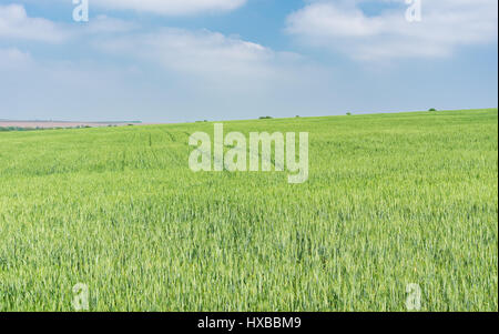 Landscape with unripe crops filed in May - Stock Photo