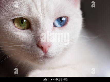 Beautiful snow-white pedigreed cat with amazing different multi-colored eyes on a sunny day. - Stock Photo