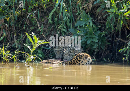 ... young jaguars who want to get a drink, in the Pantanal - Stock Photo