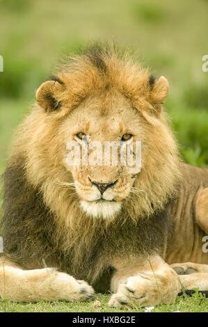 Male lion portrait in the Serengeti area of Tanzania, Africa - Stock Photo