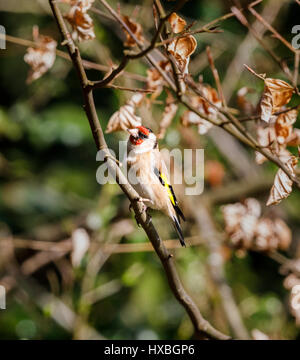 Colourful Carduelis carduelis, European goldfinch, perching on a branch of a beech tree in spring, Surrey, south - Stock Photo