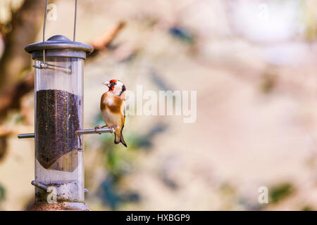 Colourful Carduelis carduelis, European goldfinch, perched feeding at a niger seed bird feeder in a garden in Surrey, - Stock Photo