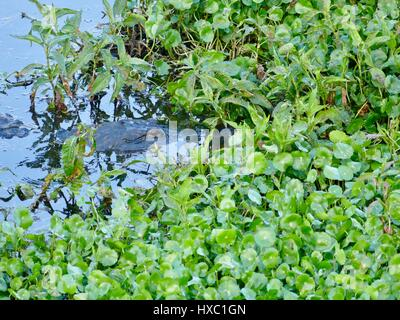 American alligator partially submerged under the weeds and water at Alachua Lake, Paynes Prairie Preserve State - Stock Photo