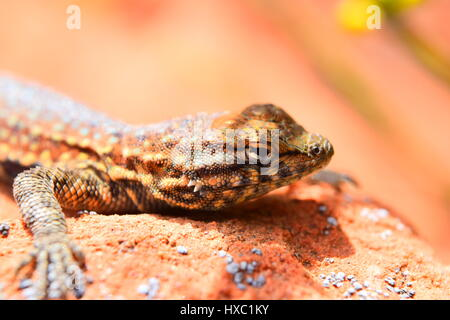Plateau Fence Lizard in St. George Utah sitting on rock to warm up in the noon sun. - Stock Photo
