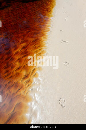 Dog paw prints next to a flowing tannin-stained creek, Abraham's Bosom Reserve, Currarong, Jervis Bay, Shoalhaven, - Stock Photo