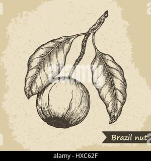 Brazil nut fruit, vintage engraved vector illustration. - Stock Photo