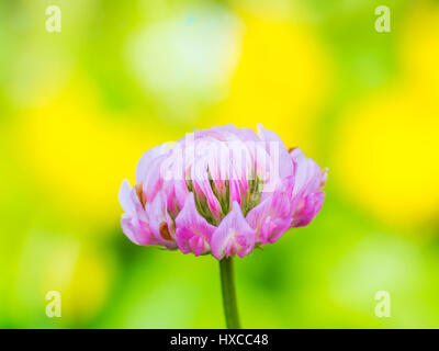 Clover Flower on Yellow Background - Stock Photo