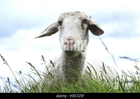 Sheep in the dyke, Schaf am Deich - Stock Photo