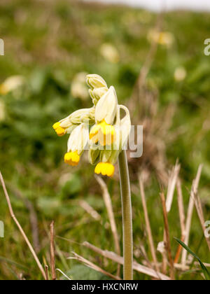 Beautiful cowslip starting in the spring time - Stock Photo