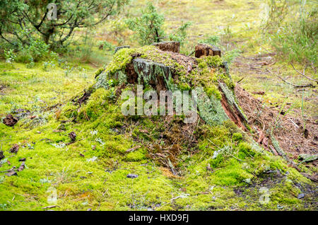 Old broken tree stump with different types of moss in the green forest - Stock Photo